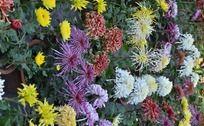 五颜六色各种盛开的菊花