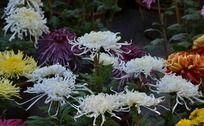 五颜六色盛开的菊花