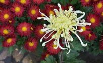 一朵黄色的独头菊和一丛红的墨菊