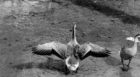 张开翅膀的鹅黑白摄影