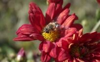 蜜蜂采蜜 花朵
