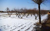 田地里的李子树