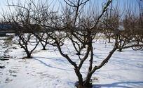 雪地里的李子树