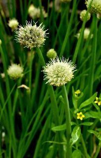 白色毛茸茸的葱花