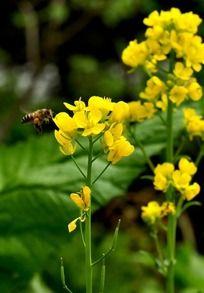 菜籽花上采蜜的蜜蜂