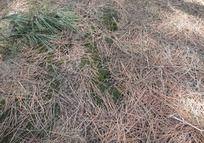 春天松林苔藓松针地面底纹背景