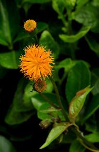 带触角的黄色小野菊