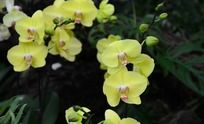 两支娇艳的黄色蝴蝶兰