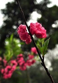 树枝上的两朵寿桃