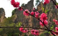 绽放的红色桃花