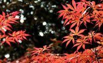 春季里红的火红枫叶