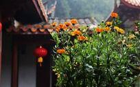 屋檐下盛开的小菊花