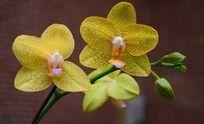 两朵黄色有蝴蝶兰