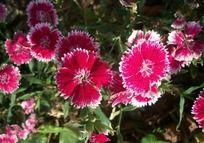 漂亮的红色石竹花