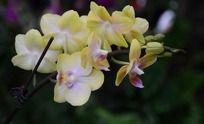 一串黄色的蝴蝶兰花