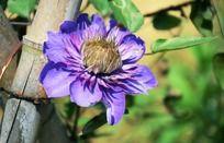 一朵阳光下盛放的紫色花朵高清特写