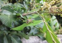 一只龙眼花叶上的蜜蜂