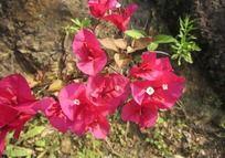 一枝阳光下的粉红色三角梅