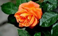 橙色月季花