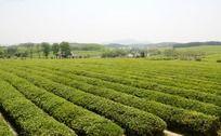 辽阔生态的绿色茶园