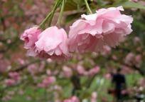 含羞的桃花