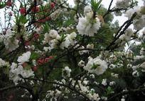 雪白的桃花