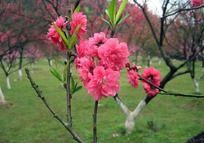 一枝娇艳的桃花