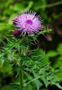 紫色毛茸茸的花