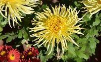绿叶中盛开的黄色菊花