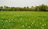 开满三叶草的绿色草地