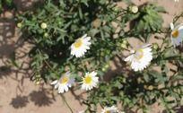 舞动的太阳花
