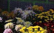 五颜六色的菊花丛