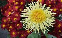 花丛中的黄色菊花