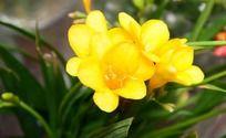 黄色盛开的娇艳花朵