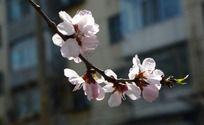楼前盛开的桃花