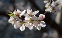 清晰的桃花花蕊和花瓣