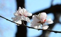 树枝上两朵盛开的粉色桃花