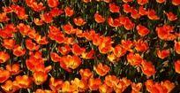 郁金香花丛摄影