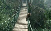 林中木桥上玩耍的猴子