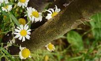 树缝中生长的小菊花