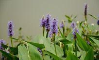 盛放的紫色梭鱼草