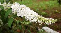花朵繁密的白花醉鱼草