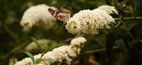 醉鱼草花上采蜜的蝴蝶