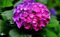 粉紫色的琼花高清图片