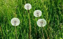 绿色草地上的蒲公英
