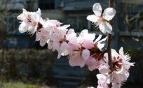 一簇粉色的桃花
