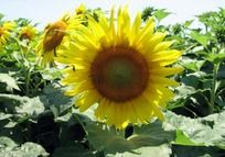 阳光下金黄色的向日葵