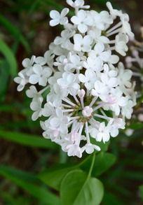 花香袭人的白色丁香花