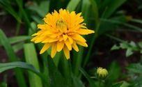 绿叶中一支鲜艳的黄色菊花
