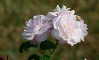 一支白色野玫瑰花特写